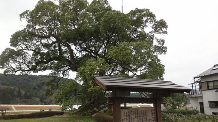 滋賀県 川古の大楠( かわごのおおくす)